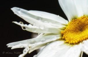 close-up of shasta daisy with raindrops