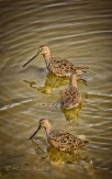 Dowitchers in zigzag formation