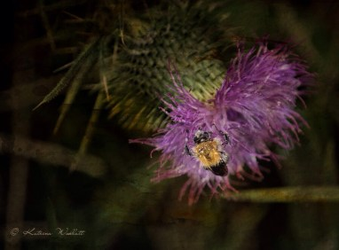 Bumblebee on thistle flower, artistic