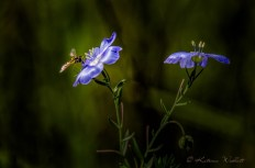 Hoverfly on blue flax flower