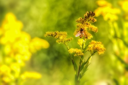 Large hoverfly on goldenrod flowers