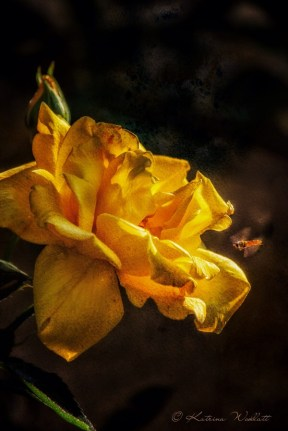 Yellow rose with hoverfly approaching