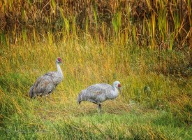 Two sandhill cranes in tall grass