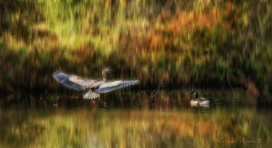 Great blue heron landing in water next to Canada goose