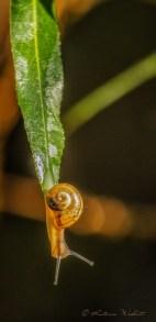 Snail head down at leaf tip