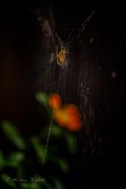 Spider on web with red flower in background