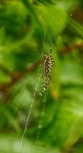 Wasp spider on zigzag web