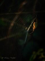 Wasp spider in sidelit web