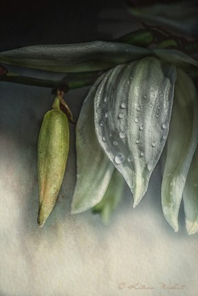 Yucca flower with raindrops
