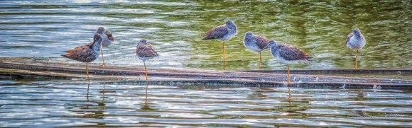 Several Greater Yellowlegs on a log