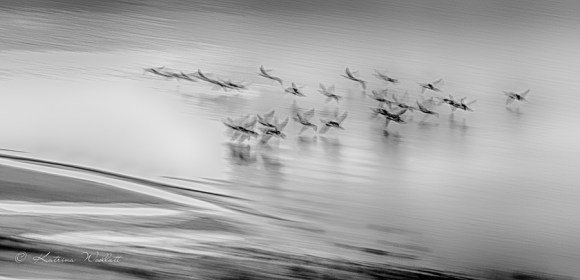 flock of geese flying low over beach shallows monochrome