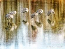 sandhill cranes in water, sleeping and preening