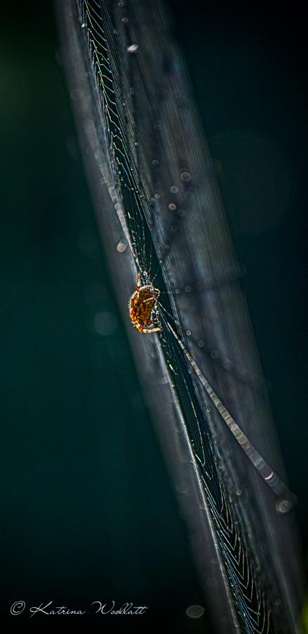 dew drop spider