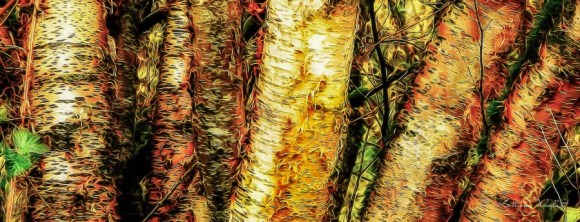 Section of clump of birch trees
