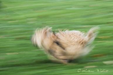 little terrier running, creative blur