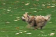 little terrier running, another creative blur