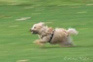 little terrier running, yet another creative blur