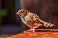 male house sparrow on table edge