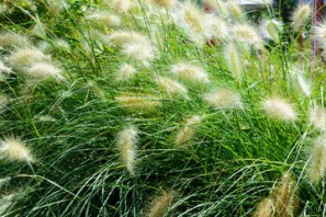 feathery grasses