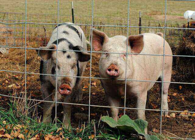 Benefits of insuring your livestock pigs