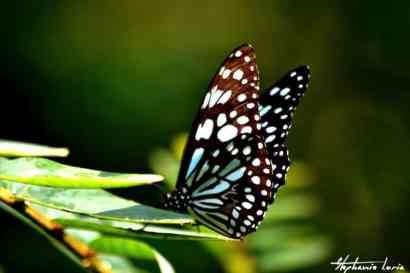papillon en thailande dans l orchidee farm