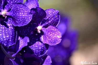 orchidée farm thailande