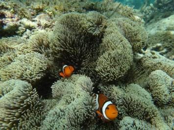 Coral Garden. Apo Island