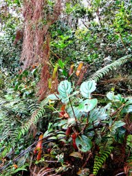 Poetry in Nature. Pitcher Plants at Mt. Kinabalu