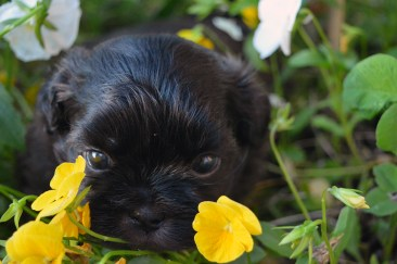 Shih tzu puppy in the flowers