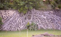 Amazing roots...Con Son, Vietnam...
