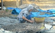 Harvesting the dried fish...