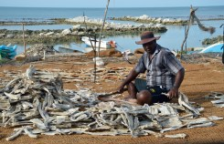 Sorting dried fish...