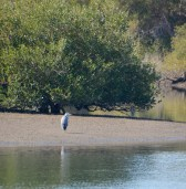 Heron in the mangroves...