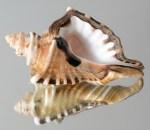 Cymatium (Cymatium) ranzanii. Found in Gulf of Oman, Masirah, Southern Oman...this specimen is 150mm.
