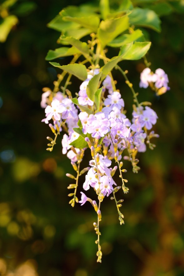 I have never known the name for this tree, small purple flowers and orange balls appear too...so pretty, but drops endlessly....