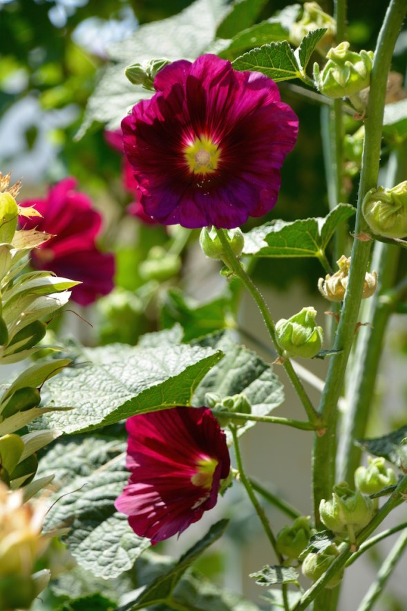 Hollyhocks in the mountains....