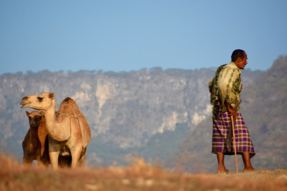 The morning camels, just before we were spotted...
