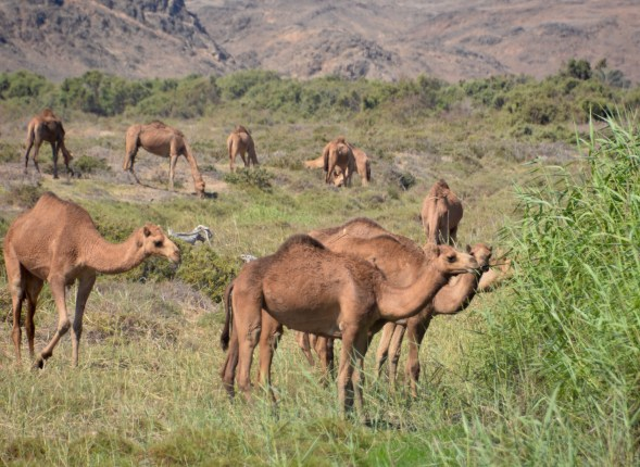 Camels grazing on the edge of the khor...