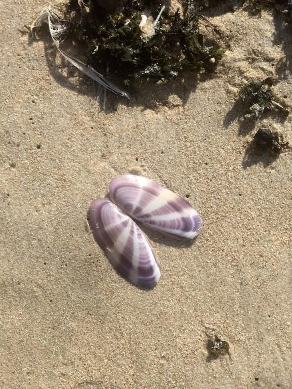 the beautiful Siliqua polita (W. Wood, 1828), left on the shoreline for me...