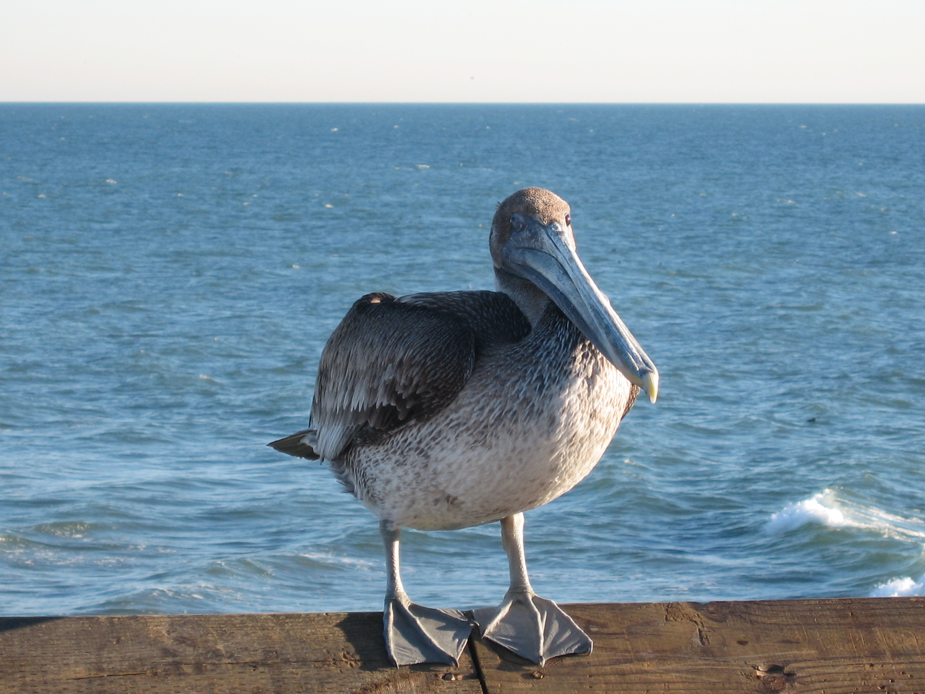 Sunbathing pelican in Newport