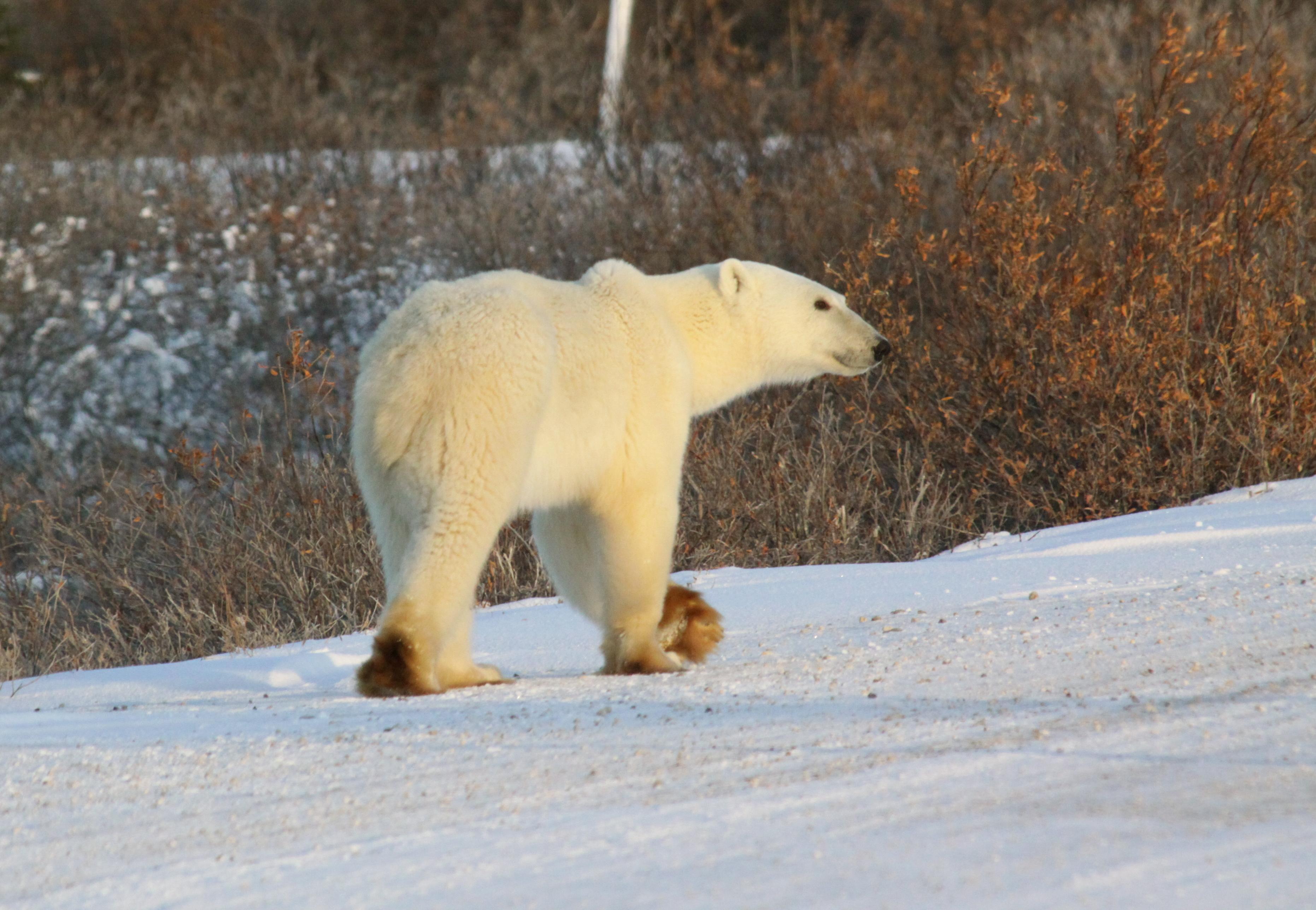 Polar bear stroll