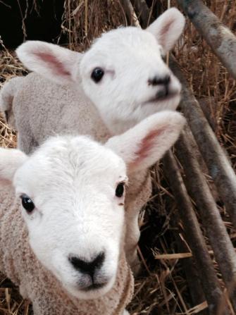 Four Winds Farm lambs, Bidborough, Tubridge Wells