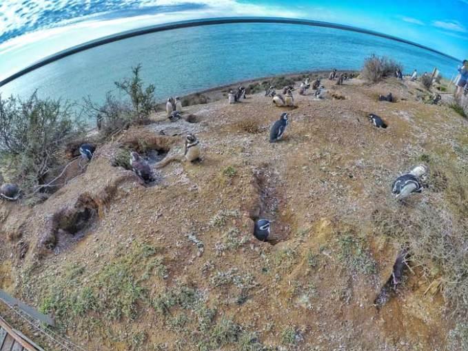 penguins peninsula valdes