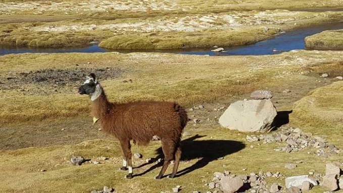 llama bolivia