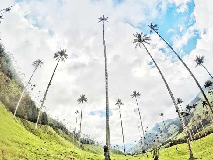 wax-palm-trees