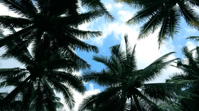 silhouette of Coconut tree.
