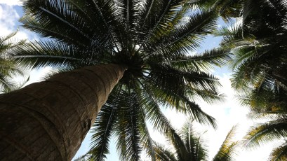 From root to its leaves, coconut trees are very useful.