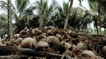 Coconut husk from a bountiful harvest