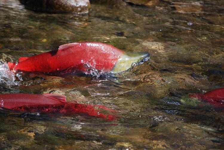 {加拿大旅遊} 千里奔波只為一線香火–加拿大鮭魚洄游