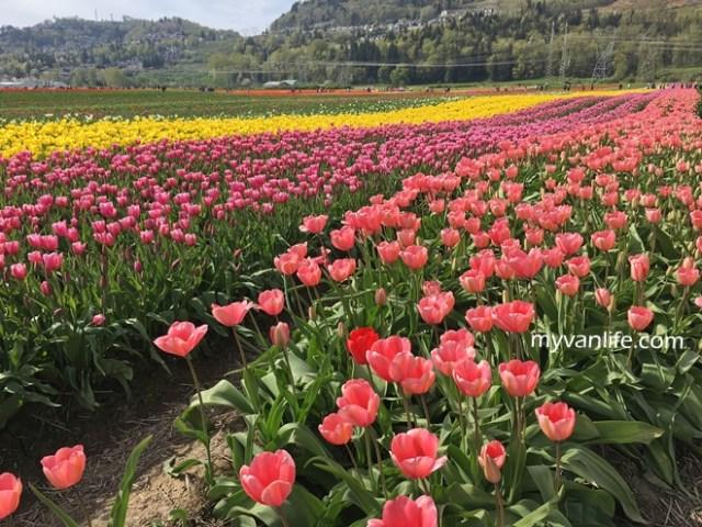 flowerRIMG_6603Abbostfordtulip